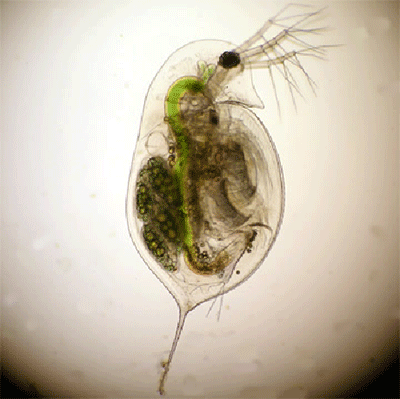 biology daphnia coursework